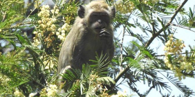 Tiga Jenis Primata Indonesia Ada di TN Gunung Merbabu